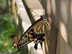 羽化したばかりの蝶.jpg