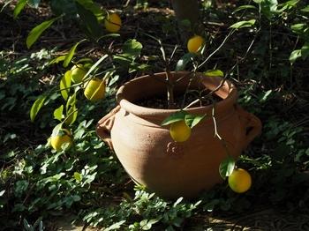 鉢植檸檬.jpg