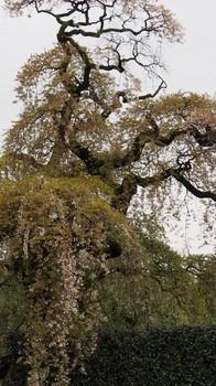 しだれ桜の巨木