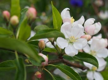 クラブアップルの花