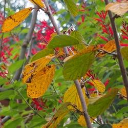 マンサクの黄葉とパイナップルセージ